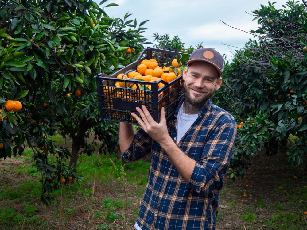 Farmer,Picks,Tangerines.,Men,In,The,Green,Garden,With,Fruits.